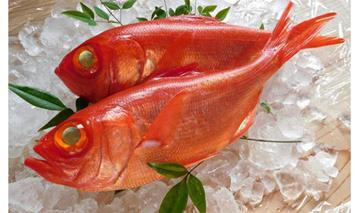 RY002超希少 特大高級金目鯛1尾(鮮魚)